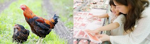 養鶏場から仕入れた地鶏を精肉加工